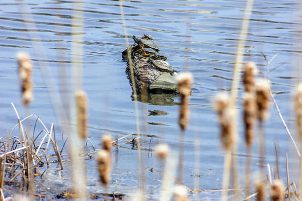 Wall Art - Photograph - Turtles And Cattails by Jackie Novak