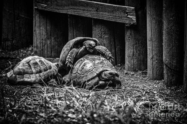 Photograph - Turtles by Traven Milovich