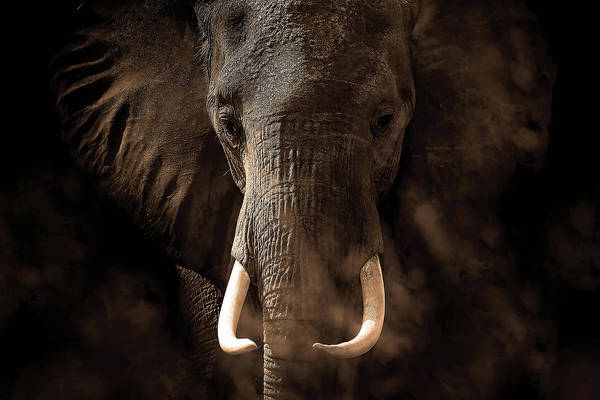Elephants Photograph - Tusker by Bjorn Persson