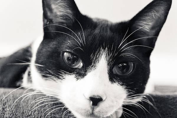Photograph - Tuxedo Kitten Stare by Maggy Marsh