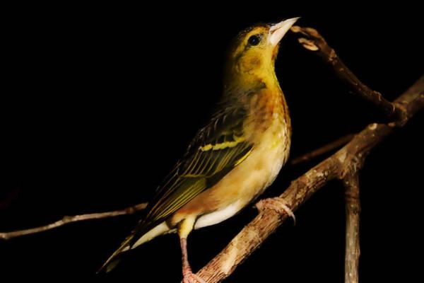 Finch Photograph - Tweety Bird by Martin Newman