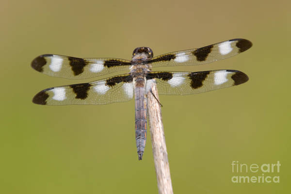Photograph - Twelve-spotted Skimmer Dragonfly I by Clarence Holmes