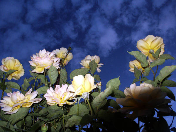 Photograph - Twilight Roses by Tarey Potter