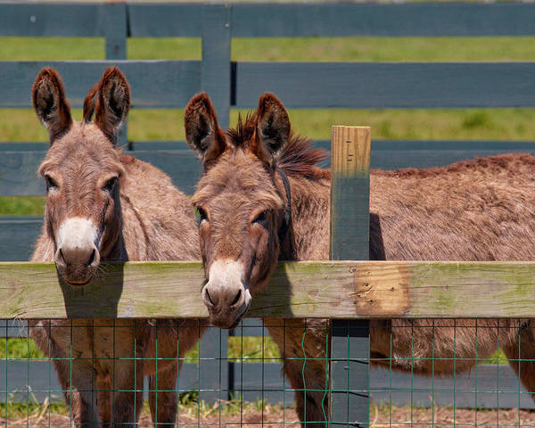 Photograph - Twin Donkeys by Mary Almond