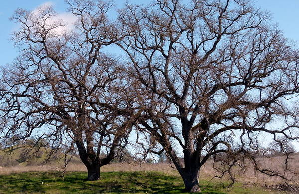 Photograph - Twin Oaks by Jeff Lowe