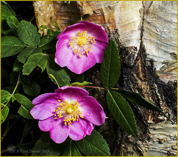 Photograph - Twin Wild Roses 2 by Fred Denner