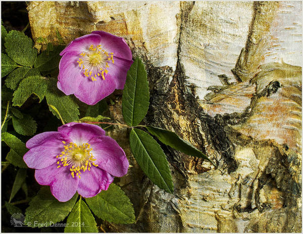 Photograph - Twin Wild Roses by Fred Denner