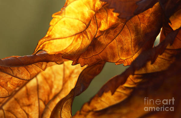 Wall Art - Photograph - Twisted Backlit Hydrangea In November by Anna Lisa Yoder