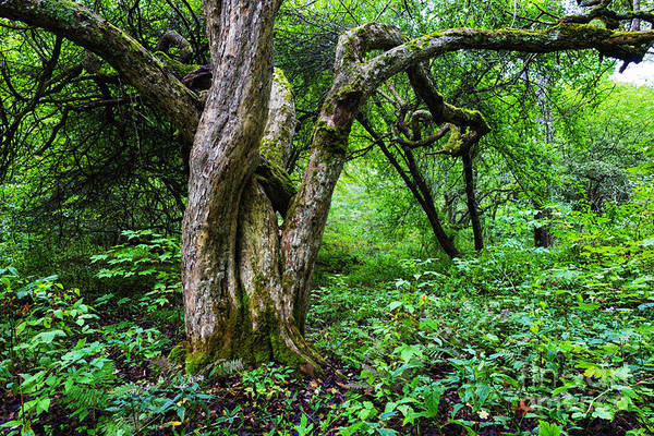 Photograph - Twisted Dotted Thorn Tree by Thomas R Fletcher