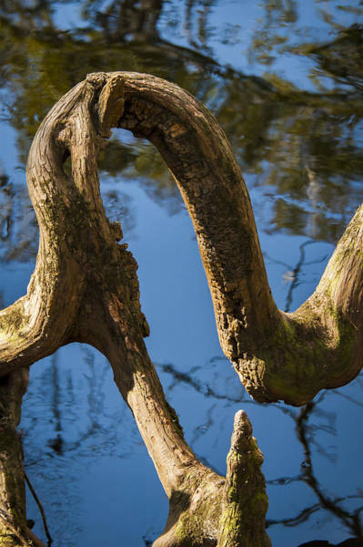 Photograph - Twisted Root by Carolyn Marshall
