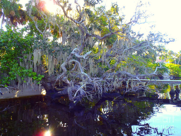 Fly Fishing Photograph - Twisted Tree by Carey Chen