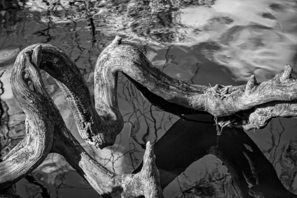 Photograph - Twisted Tree Root - Bw by Carolyn Marshall