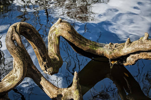 Photograph - Twisted Tree Root by Carolyn Marshall