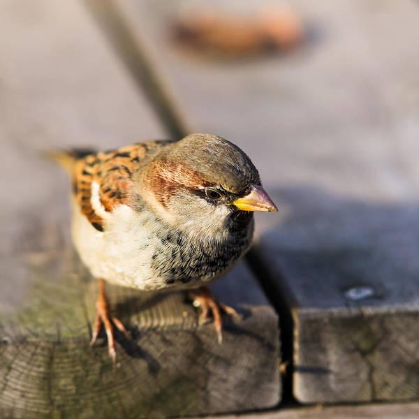 Chirping Photograph - Twitting Friend 1 The Philosopher by Alexander Senin