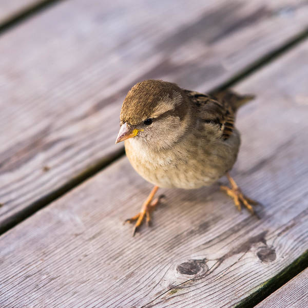 Chirping Photograph - Twitting Friend 3 - Stage Airfield by Alexander Senin