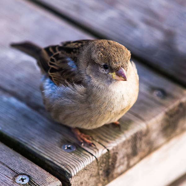 Chirping Photograph - Twitting Friend 4 - Filled Up by Alexander Senin