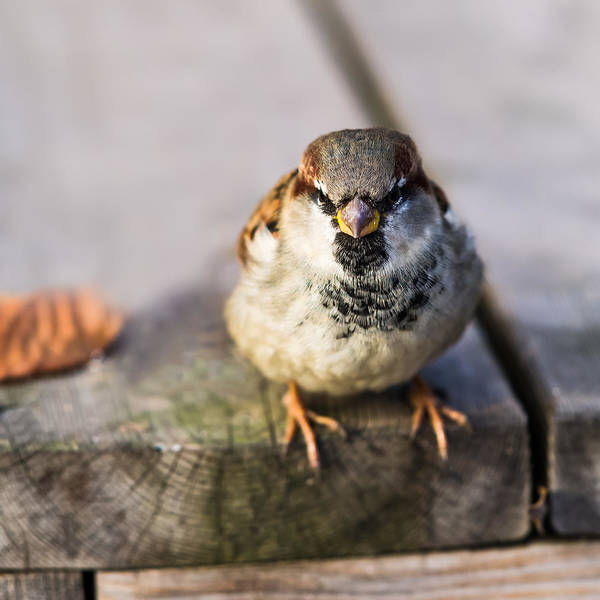 Chirping Photograph - Twitting Friend 5 - In The Army Now by Alexander Senin