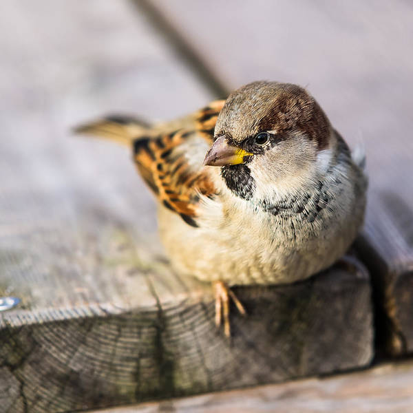 Chirping Photograph - Twitting Friend 6 - Resting On The Ground by Alexander Senin