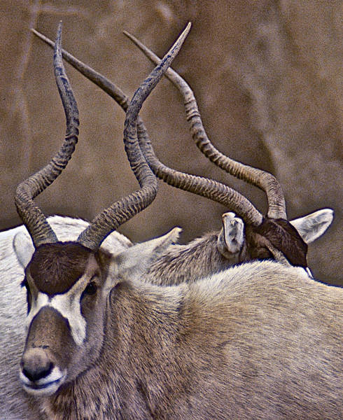 Photograph - Two Addax by Stuart Litoff
