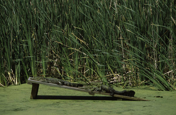 Wall Art - Photograph - Two Alligators Resting On A Wooden by Animal Images