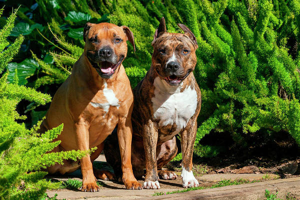 Staffordshire Wall Art - Photograph - Two American Staffordshire Sitting by Zandria Muench Beraldo