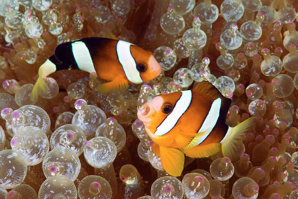 Anemonefish Photograph - Two Anemonefish Swim Among Poisonous by Jaynes Gallery