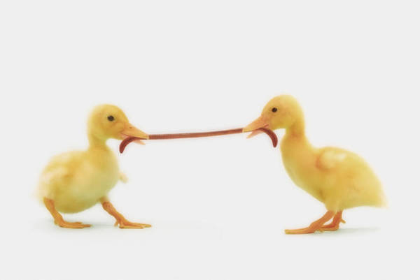 Hurst Wall Art - Photograph - Two Baby Ducklings Fighting by Thomas Kitchin & Victoria Hurst