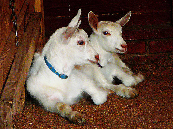 Photograph - Two Baby Goats by Susan Savad