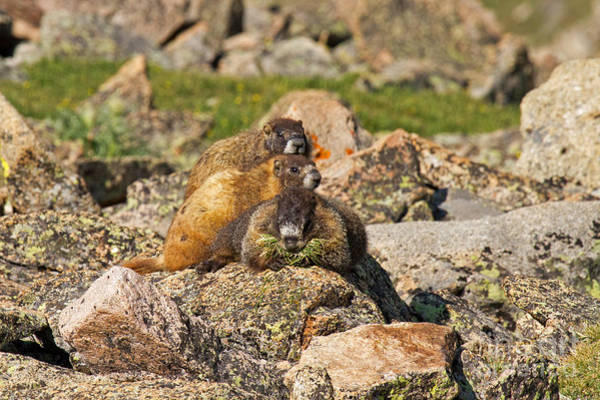 Photograph - Two Baby Marmots Resting On Mother At Rock Cut by Fred Stearns