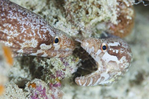 Wall Art - Photograph - Two Bar Tailed Moray Eels by Science Photo Library