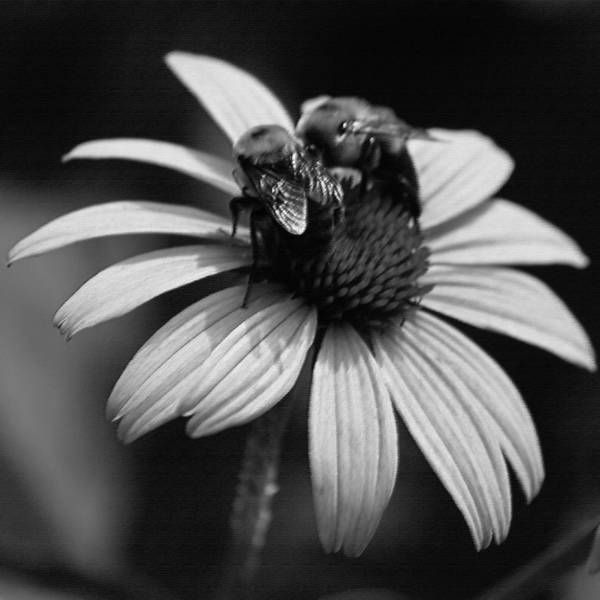Wall Art - Photograph - Two Bees On Coneflower II by Suzanne Gaff