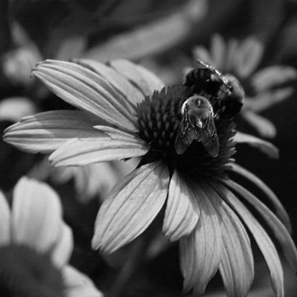 Wall Art - Photograph - Two Bees On Coneflower by Suzanne Gaff