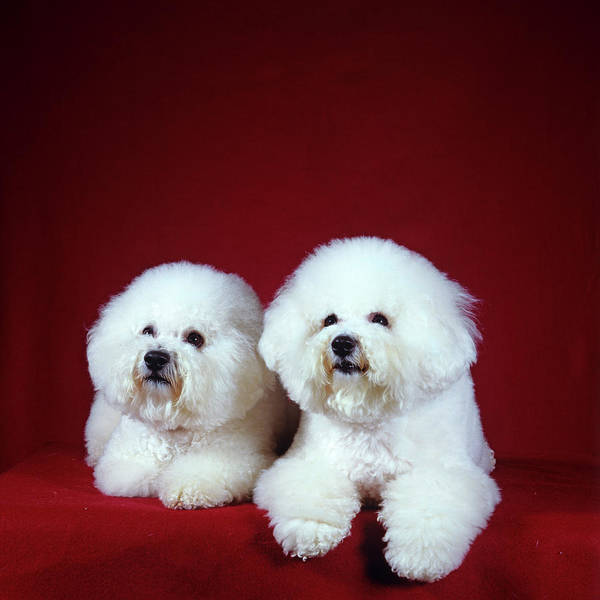 Bichon Wall Art - Photograph - Two Bichon Frise Dogs Lying by Animal Images