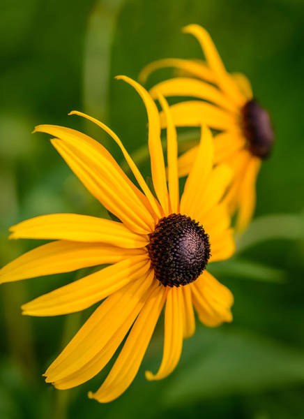 Photograph - Two Black Eyed Susans by Robert Mitchell