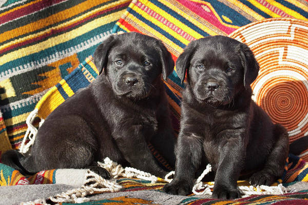 Black Lab Photograph - Two Black Labrador Retriever Puppies by Zandria Muench Beraldo
