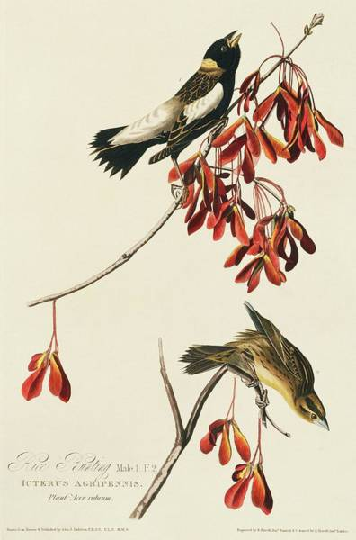 Aquatint Photograph - Two Bobolinks by Natural History Museum, London/science Photo Library