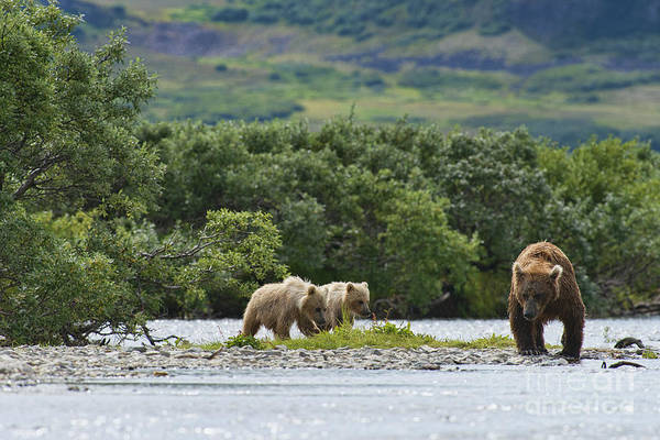 Photograph - Two Brown Bear Cubs And Mother by Dan Friend