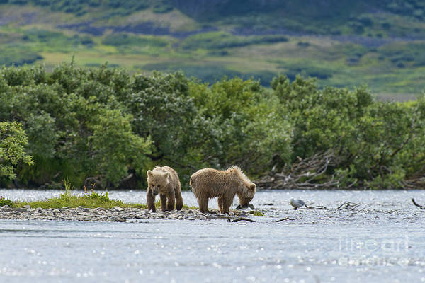 Photograph - Two Brown Bear Cubs On Shore by Dan Friend