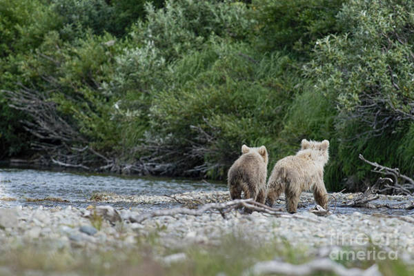 Photograph - Two Brown Bear Cubs Walking Away by Dan Friend