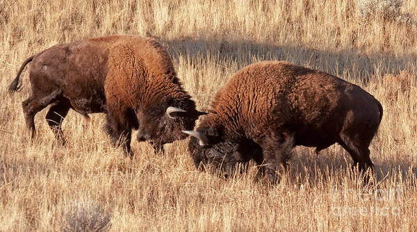 Photograph - Two Bull Bison Facing Off In Yellowstone National Park by Fred Stearns