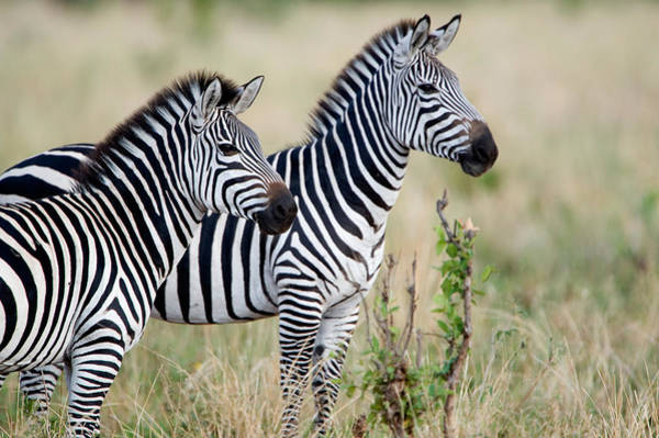 Tarangire Photograph - Two Burchells Zebras Equus Burchelli by Panoramic Images