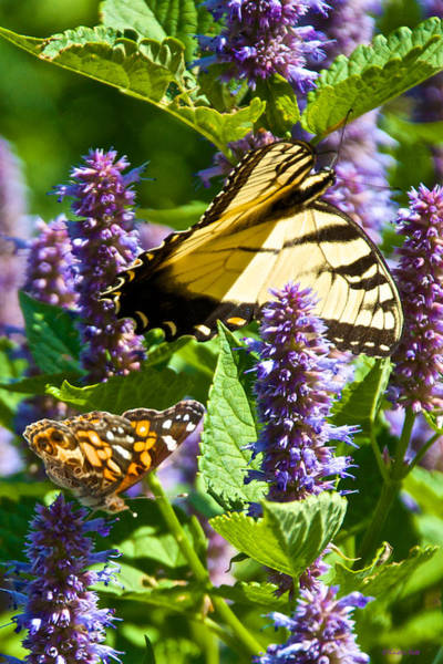Photograph - Two Butterflies In The Afternoon Sun by Kristin Hatt