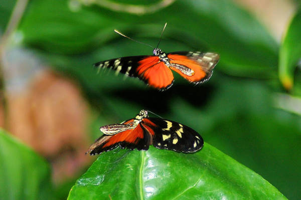 Little Things Photograph - Two Butterflies  by Jeff Swan