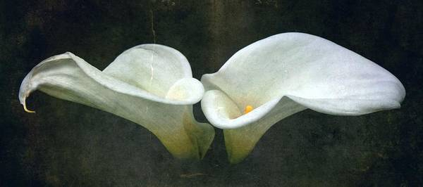 Calla Lillies Photograph - Two by Cathie Tyler