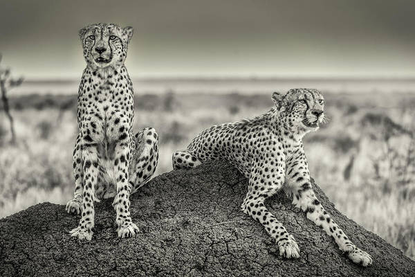 Feline Photograph - Two Cheetahs Watching Out by Henrike Scheid