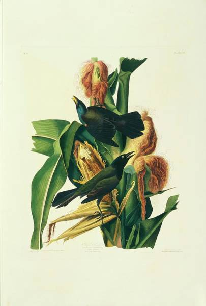 Aquatint Photograph - Two Common Grackles by Natural History Museum, London/science Photo Library