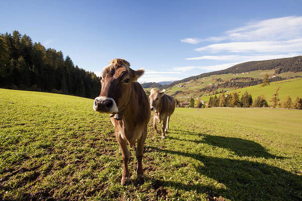 Cow Photograph - Two Cows On Green Meadow Looking At by Matteo Colombo