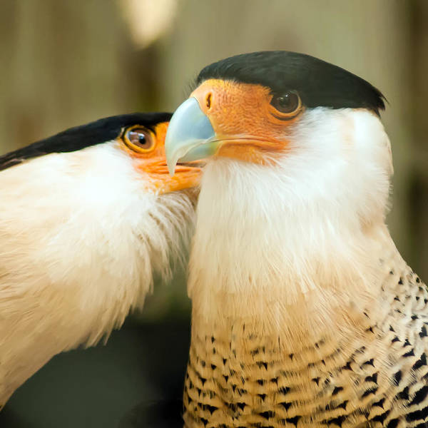 Photograph - Two Crested Caracara Bird Cleaning Each Other by Alex Grichenko
