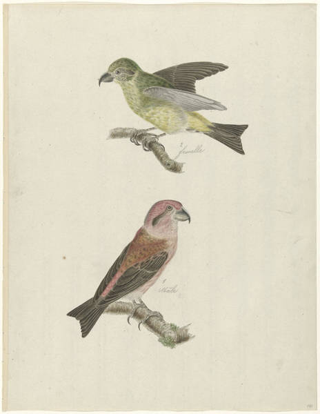 Crossbill Drawing - Two Crossbills, Possibly Christiaan Sepp by Quint Lox