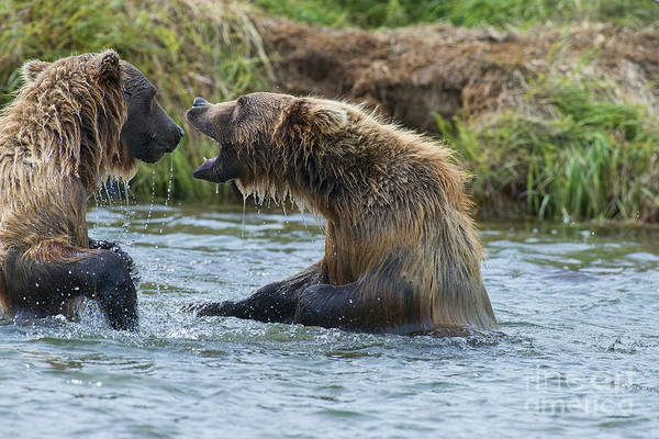 Photograph - Two Cubs Play Fighting by Dan Friend